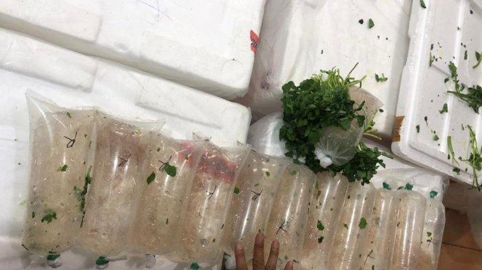 Penyelundupan Benih Bening Lobster Berkedok Paket Sayuran Digagalkan di Bandara Soetta
